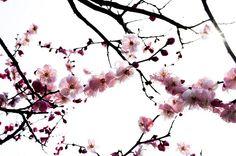 Cerisier japonais   (noun.blog.over-blog.com)