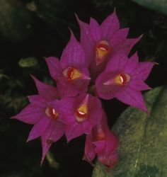 Dendrobium Petiolatum | Dendrobium petiolatum Schltr. 1912 SECTION Calyptrochilus Photo by ...