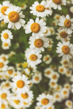 A wash of tiny yellow and white feverfew flowers (Tanacetum parthenium) traditionally used to reduce fever.