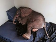 Tiny Elephant No One Thought Would Survive Happily Rests In His Little Bed #elephants Visit our page here: http://what-do-animals-eat.com/elephants/
