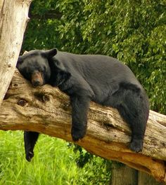 Black bear relaxing in the Great Smoky Mountains. http://www.pantherknobcottages.com