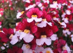 Nemesia Red & White