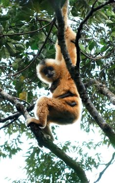There are only about 23 Hainan gibbons left, making it the world's rarest primate, who live on Hainan Island in the South China Sea. Animal Fact File, Animal Facts For Kids, Fun Facts About Animals, N Animals, Extinct Animals, Rare Animals, Primates, Mammals, Beautiful Creatures