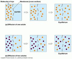 Idea of diffusion is to have a natural balance in the cell (equilibrium). This happens when the net movement of molecules move from region of high concentration to a region of low concentration. Gcse Biology Revision, Ap Biology, Cell Cycle, Revision Notes, Phonics, Mathematics, Science, Teaching, Natural