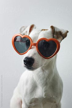Cool dog wearing heart-shaped sunglasses. Vertical studio shot.