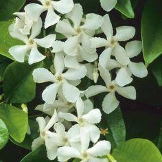Trachelospermum jasminoides - Toscaanse of Ster Jasmijn (winterhard)