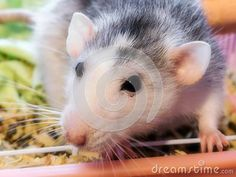 Photo about A close-up view of an adult female Dumbo rat climbing out of its cage. Image of rodents, whiskers, eyes - 148518647 Rat 1, Pet Id, Rodents, Guinea Pigs, Cage, Climbing, Sheep, Cute Animals, Horses