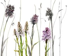 Orchids and grasses illustration by Rosie Sanders