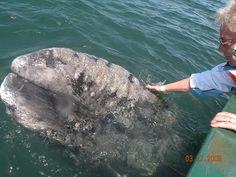 grey whales in san ignacio lagoon - baja california