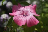 Blüte einer Malve