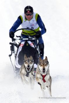 Is Your Siberian Husky Driving You Crazy? Within Hours, Stop Barking, Growling, Pulling on the Leash and Constant Jumping up! - Siberian Huskies #husky #dog #doglovers #dogs #dogsofinstagram