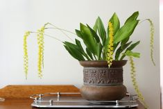 Golden chain orchid in copper planter on a silver serving tray Copper Planters, Planter Pots, Indoor Garden, Indoor Plants, Silver Serving Trays, Vintage Silver, Orchids, Display, Chain