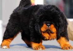 Tibetan Mastiff Puppy #4 in Top 10 Most Expensive Pets List http://theluxedaily.com/tibetan-mastiff/