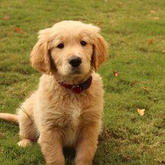 """My golden retriever puppy, Franky,"" writes @jyebolton."