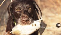 The Ugly Dog Hunting Company sells premier wingshooting gear for hunters - and their dogs - who know that quality makes the difference. We have selected high performance clothing and equipment guaranteed to help you meet the challenges of the field. We think our products will make your hunts more comfortable, improve your shooting, and put more birds in the bag...but we'll let you be the judge.