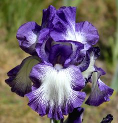 TB Iris germanica 'Rococo' (Schreiner, 1959)