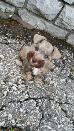 Teacup Schnauzer Puppie For Sell~Liver/Tan. Lost Color! BEAUTIFUL THICK MEGA COAT!!!! BIG GREEN EYES! !!!  $1200