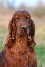 I grew up with Irish Setters. Gave my grandma a puppy when I was little. She named him Barkus. He was our best buddy. Irish Setters make me think of her.