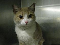 2 year old Ginger needs out of NYCACC NOW!!! TO BE DESTROYED 5/19/13 Brooklyn Center  My name is GINGER. My Animal ID # is A0964729. I am a female crm tabby and white domestic sh mix. The shelter thinks I am about 2 YEARS   I came in the shelter as a STRAY on 05/09/2013 from NY 11225, owner surrender reason stated was STRAY.   MOST RECENT MEDICAL INFORMATION AND WEIGHT 05/17/2013 Exam Type RE-EXAM - Medical Rating is 3 C - MAJOR CONDITIONS , Behavior Rating is AVERAGE, Weight 7.3 LBS.