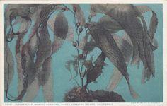 Iodine Kelp, Marine Gardens, Santa Catalina Island, California - Vintage Postcard - Unused (EE)