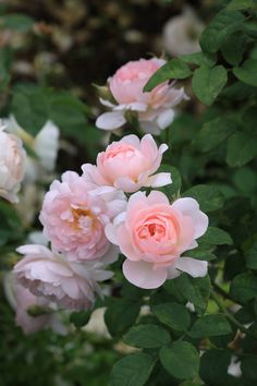 'Heritage' ~ David Austin English Rose. Austin, 1984 : @ miruvlecheniy