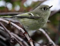 Ruby-crowned Kinglet by Corey Finger