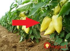 Flora, Stuffed Peppers, Landscape, Gardening, Vegetables, Plants, Landscaping, Red Peppers, Garten
