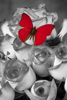 Color Splash, red butterfly, butterfly, roses, black and white