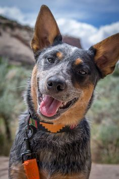 Dogs With Jobs, Austrailian Cattle Dog, Rare Dogs, Chicken For Dogs, Large Dog Breeds, Dog Rules, Baby Puppies, Beautiful Dogs, Amazing Dogs