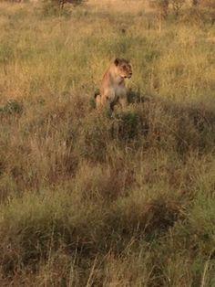 Serengeti lion #safari #Tanzania #africa #Travel #travelblog