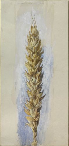 John Ruskin - Study of an Ear of Wheat: Side View, magnified