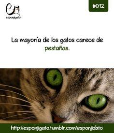 #Esponjidato: La mayoría de los gatos carece de pestañas.