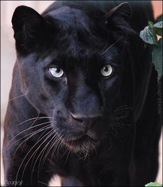Wonderful black leopard from Tierpark Berlin What a lovely zoo, I wish I could visit it again soon! Jaguar Pictures, Black Panther Cat, Jaguar Tattoo, Animals And Pets, Cute Animals, Black Jaguar, Paws And Claws, Lion Art, All About Cats