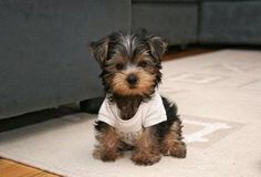 really cute little Yorkshire Terrier. Awe reminds me of my mini runt yorkie dog Simon. Best dogs ever! Baby Animals, Funny Animals, Cute Animals, Cute Puppies, Dogs And Puppies, Bear Dogs, Adorable Dogs, Teacup Yorkie, Baby Yorkie