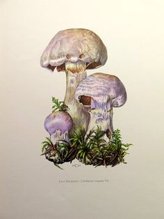 Poisonous MUSHROOM lithograph, 1962 antique Cortinarius traganus engraving, vintage fungus fungi color lithograph, gassy webcap mycology.