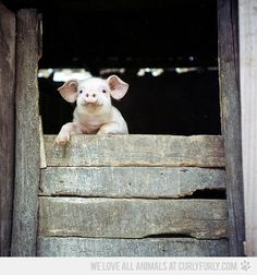 Happy Piggy says Hellooo!
