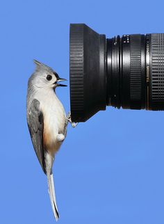 collaborazione Tufted Titmouse (cincia)checking out the camera Kinds Of Birds, All Birds, Love Birds, Pretty Birds, Beautiful Birds, Animals Beautiful, Animals Amazing, Hello Beautiful, Funny Animals