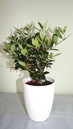 Contemporary white round planter plus small olive tree Delivery in first week of december or before. Christmas gift ideas, Xmas gifts, Xmas gifts for her, Christmas present ideas, Christmas gift, Christmas Presents, gift for her him dad mum mother father men girlfriend boyfriend wife husband friends women gardener, plant gift. Best4garden http://www.amazon.co.uk/dp/B00P2NG5R2/ref=cm_sw_r_pi_dp_PE0Bub01NHCXP