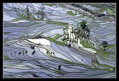 Yuanyang rice terraces - Yunnan region CHINA