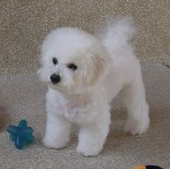 Or maybe I want a Bishon Frise