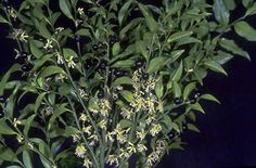 Sarcococca confusa - for the west side shade garden?  Lovely and very fragrant at Anne and Gunther's house