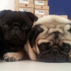 cute pugs