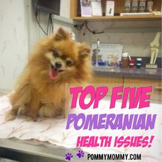 Top five pomeranian health issues