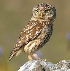கோரக்கர்: 2013 Beautiful Owl, Animals Beautiful, Animals And Pets, Cute Animals, Burrowing Owl, Owl Pet, Owl Pictures, Little Owl, Owl Bird