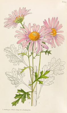 Illustration of 'Chrysanthemum Rubellum' by artists Lilian Snelling and Stella Ross-Craig, published in Curtis's Botanical Magazine in Date 1939 Illustration Botanique, Illustration Blume, Vintage Botanical Prints, Botanical Drawings, Botanical Flowers, Botanical Art, Art Floral, The Magic Faraway Tree, Floral Illustrations