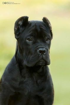 Cane Corso Italian Mastiff, Cane Corso Mastiff, Cane Corso Dog, Cane Corso Puppies, Big Dogs, Dogs And Puppies, Doggies, Beautiful Dogs, Animals Beautiful