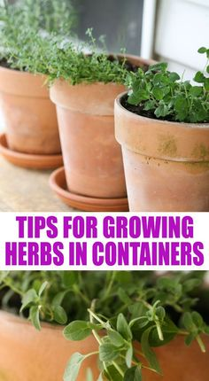 10 tips for growing herbs in containers. I love keeping containers with herbs on my porch so they are as close to the kitchen as possible. Let me share with you 10 tips for growing better herbs in containers. Container Herb Garden, Container Gardening Vegetables, Container Plants, Easy Garden, Indoor Garden, Garden Ideas, Garden Bar, Veg Garden, Indoor Plants