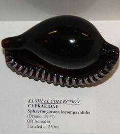Sphaerocypraea incomparabilis (Briano, 1993)