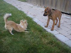 Kido the chihuahua and Mini the rhodesian ridgeback
