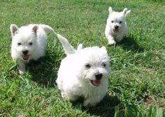 West Highland White Terrier puppies, thinking about getting two.